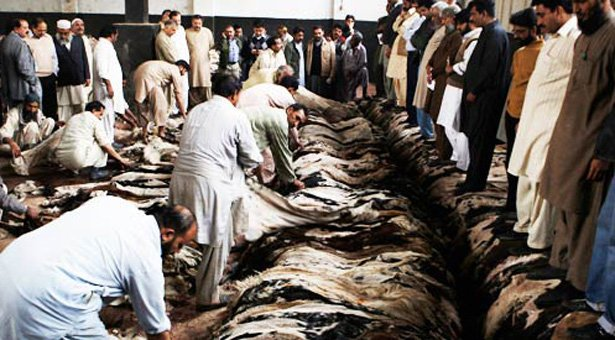 Qurbani Hides Collection